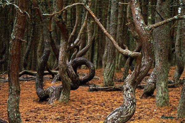 Деревья-доноры и вампиры - mistika-pjyan.jpg