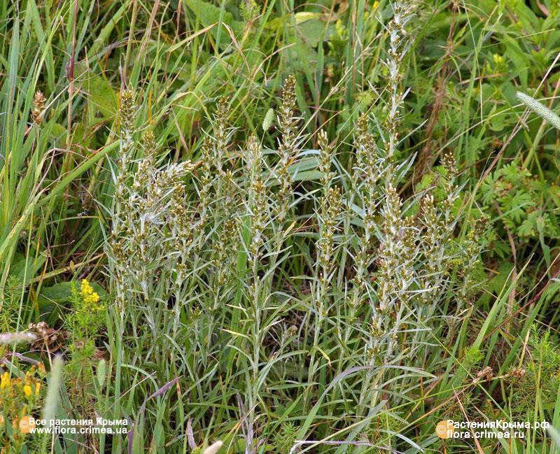 Вот и лето пришло  - Gnaphalium-silvaticum5.jpg