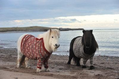 второй день веселюсь  - Scotland-Ponies-3.jpg