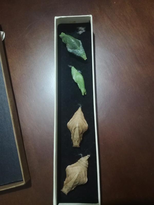Что в коробочке? Романтический подарок.Коробочка вскрыта Бабочки среди зимы ИТОГИ стр. 3 - IMG_20180202_212102.jpg